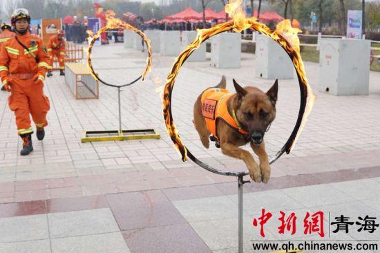 图为搜救犬队演练 张雕 摄
