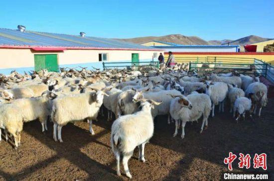 图为拉格日村生态畜牧业合作社。 鲁丹阳 摄