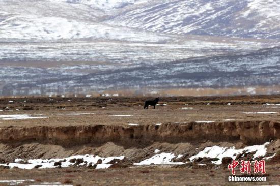 资料图为调查队员在三江源国家公园黄河源园区拍摄到的黑狼画面。中新社记者 李理 摄