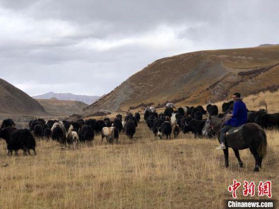资料图为青海南部高寒牧区牦牛养殖。 罗云鹏 摄