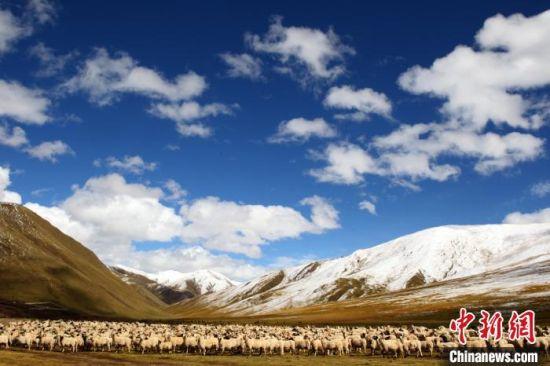 资料图为青海玉树曲麻莱一畜牧业合作社所养殖的羊群。 罗云鹏 摄