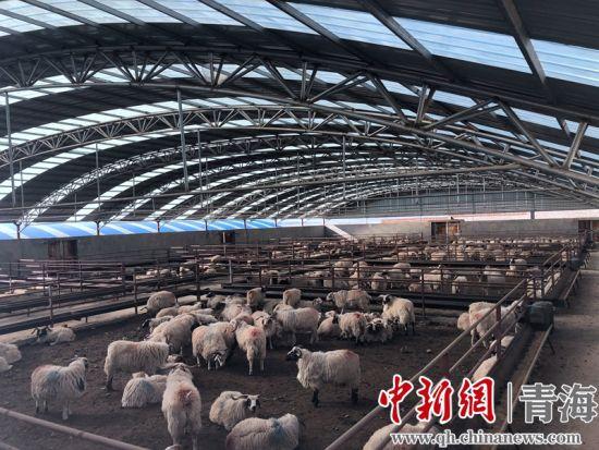�Y料�D�榍嗪�(hai)海(hai)北藏(cang)系羊(yang)�B殖。�_��i�z
