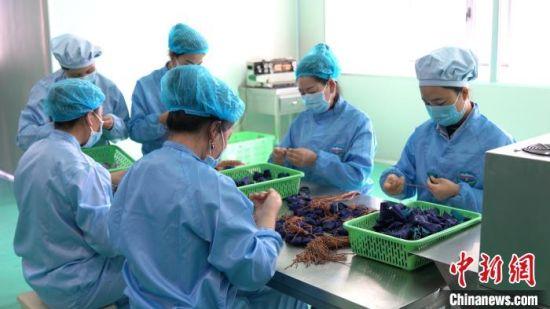 资料图为青海藏药生产企业为湖北赶制防瘟香囊。青海省科技厅供图
