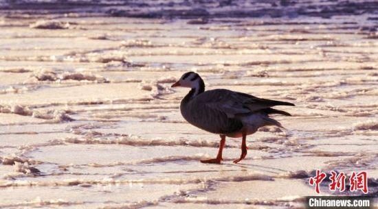 图为野生鸟类在封冻的湖面上行走。 宋忠勇 摄