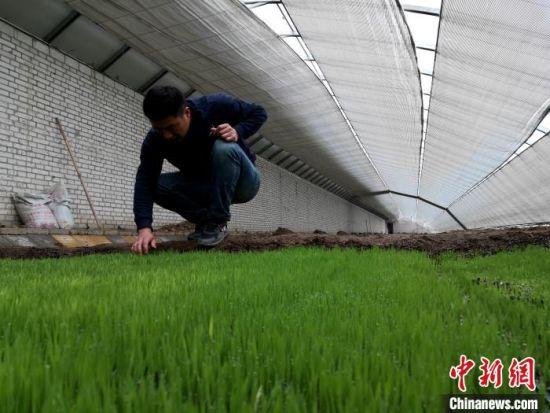 图为张国东正在查看秧苗的生长情况,仔细记录空气湿度、温度,测量Ph值。 王海防 摄