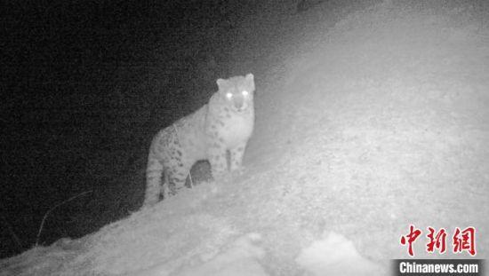 图为雪豹在柴达木盆地内的德令哈柏树山公园内活动。 乌席勒 摄