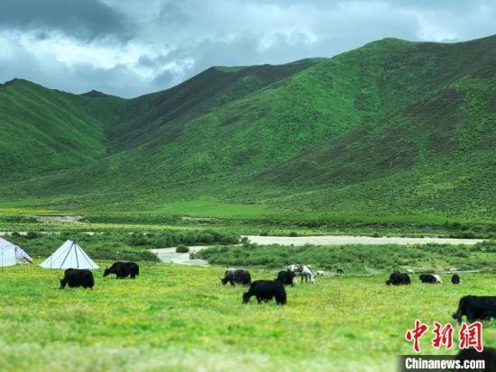 图为三江源腹地果洛州境内,牦牛群在觅食。 孙睿 摄