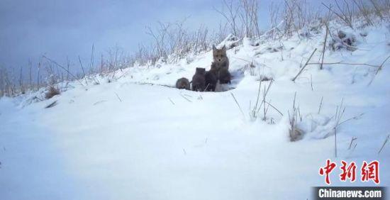 祁连山国家公园青海片区拍摄到赤狐育幼画面