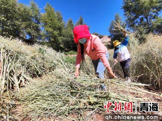 图为马营乡村民整理割下来的菜籽垛。 祁增蓓摄