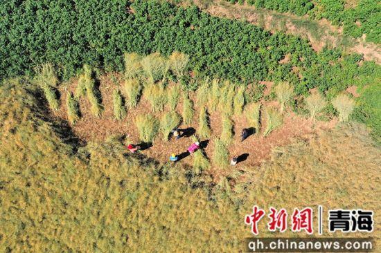 图为马营乡村民正在割油菜籽。 祁增蓓摄