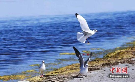 图为青海湖边的水鸟。马铭言 摄