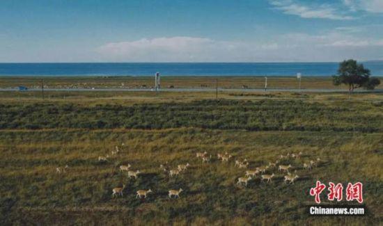 图为青海湖岸边奔跑的普氏原羚。马铭言 摄