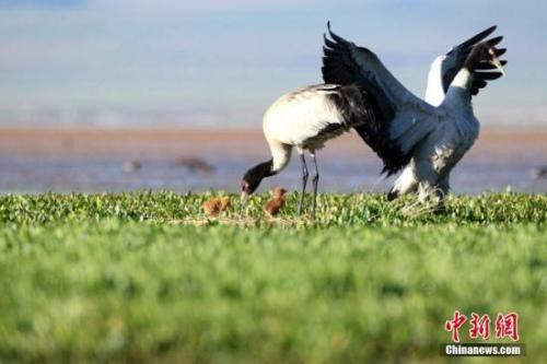 濒危指示性物种黑颈鹤徙居青海嘉塘草原 最大种群达240只