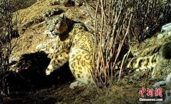 """藏区""""神山""""阿尼玛卿地区首次记录到雪豹分食"""