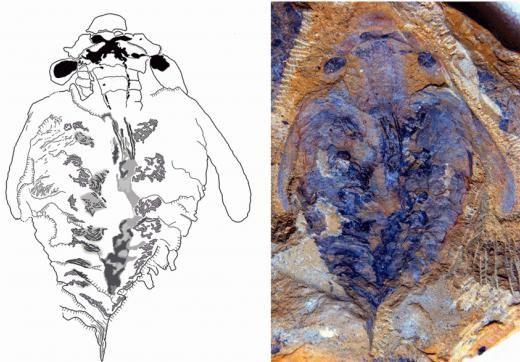 5亿年前地球最早肉食动物大脑化石被发现
