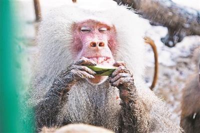 北京野生动物园:动物消暑每天吃掉600斤西瓜