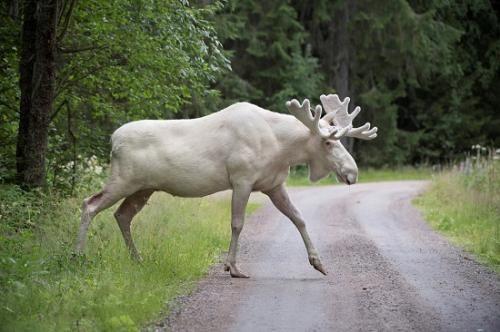 瑞典现罕见白驼鹿 通体雪白似身披丝绒