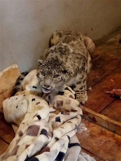 心痛,被救助的雪豹再次病了