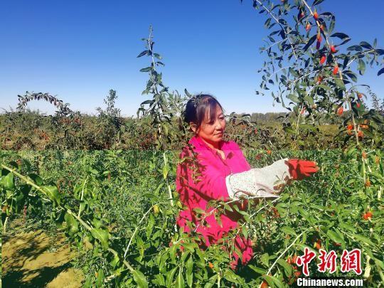 青海柴达木盆地枸杞采摘能手:不到70天挣了1万块