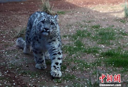 中国人工繁育成活首只雪豹满周岁 征名活动同步启动